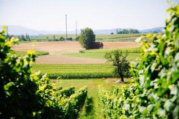 wijnvelden in zwitserland