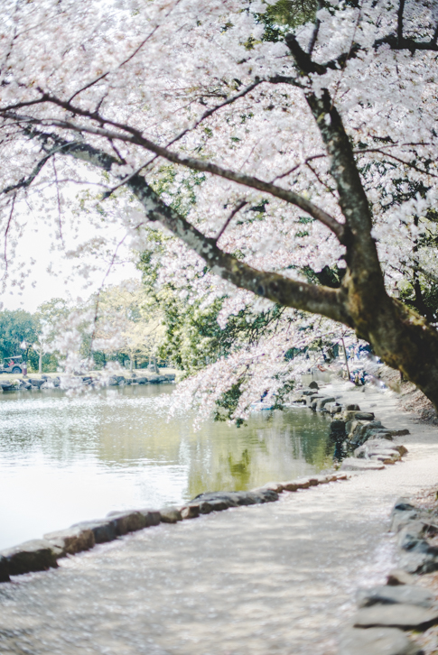 Bloesems in Japan