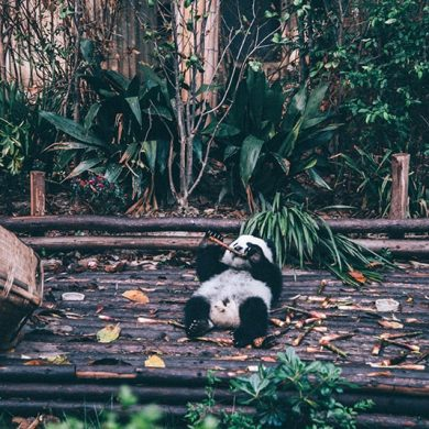 Chengdu pandabeer research centre