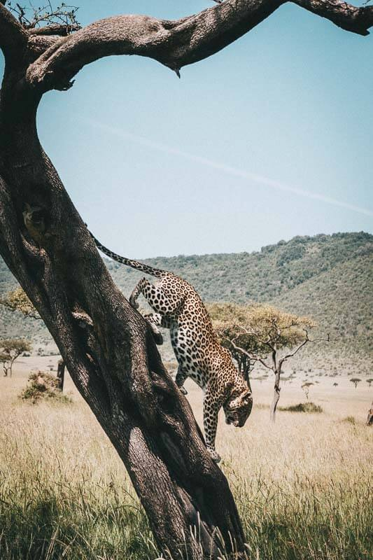 Luipaard in Kenia