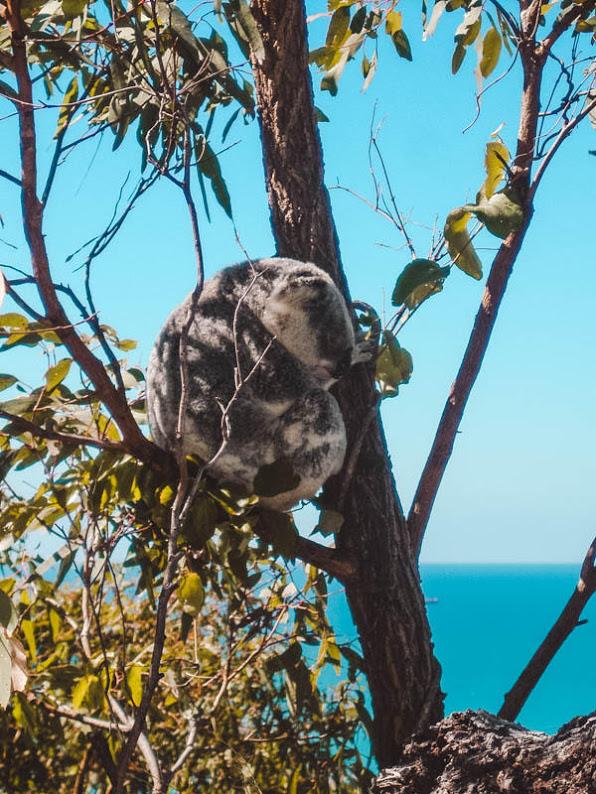 koalabeer op magnetic island in een boom